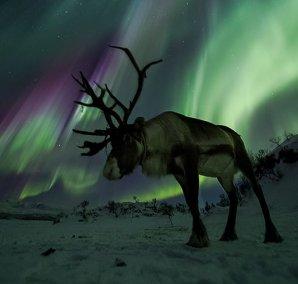 Polární záře a sob ve Skandinávii . Autor: Ole Salomonsen.