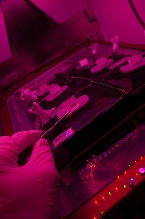 Astronaut Steven Swanson začal 11. května 2015 s pěstováním salátu. Autor: NASA.